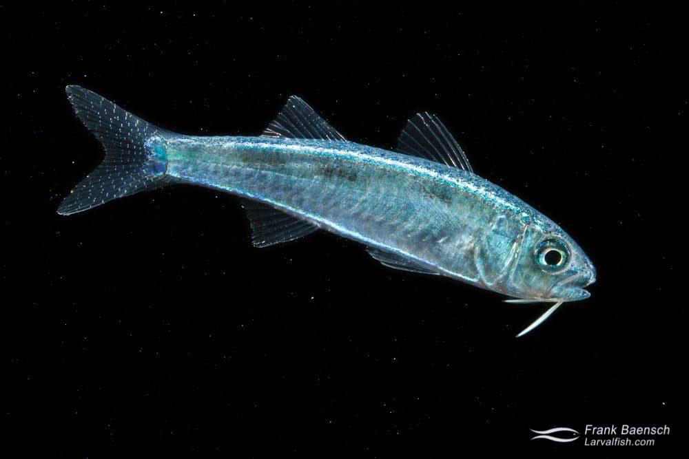 Goatfish larva - 24.7 mm TL. Papua New Guinea.