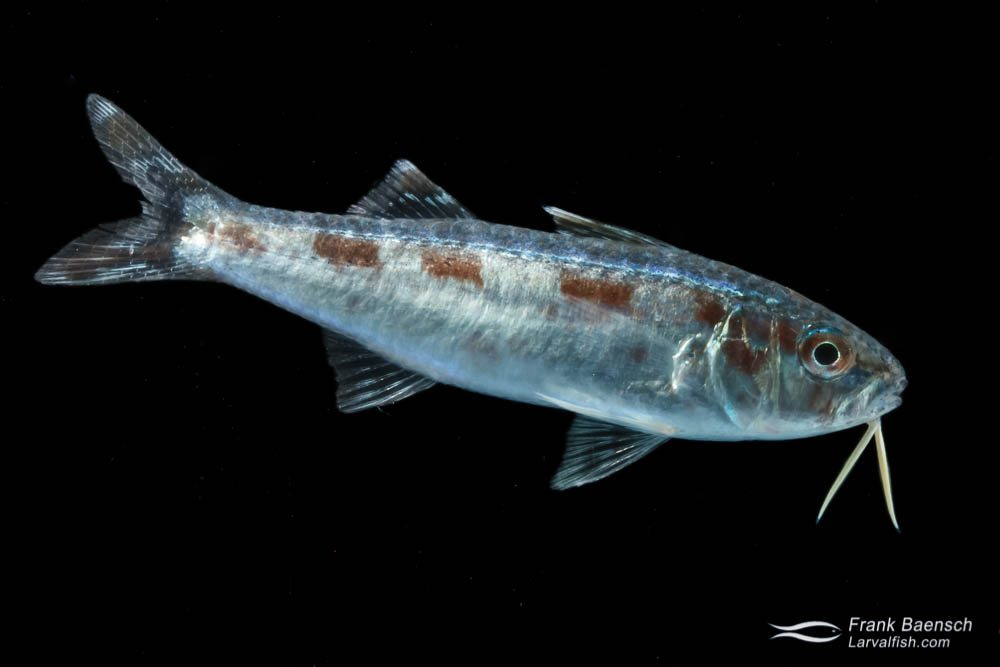 Goatfish larva - 45 mm TL.