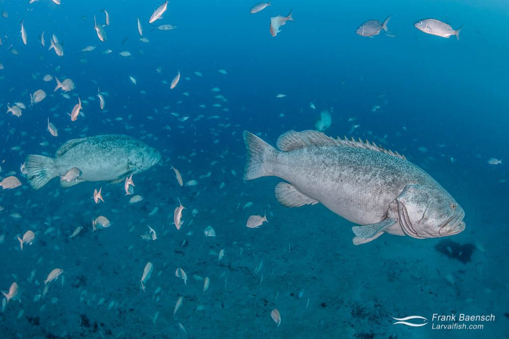 Goliath grouper (Epinephelus itajara) surrounded by grunts in Florida.