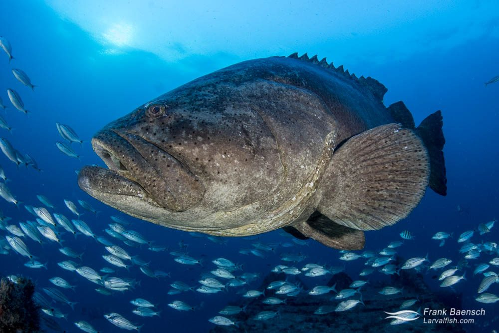 Goliath grouper (Epinephelus itajara) surrounded by grunts on a wreck in Florida. The goliath grouper forms multiple small (<100 individuals) spawning aggregations sometimes  located  hundreds of kilometers away from their home habitat.