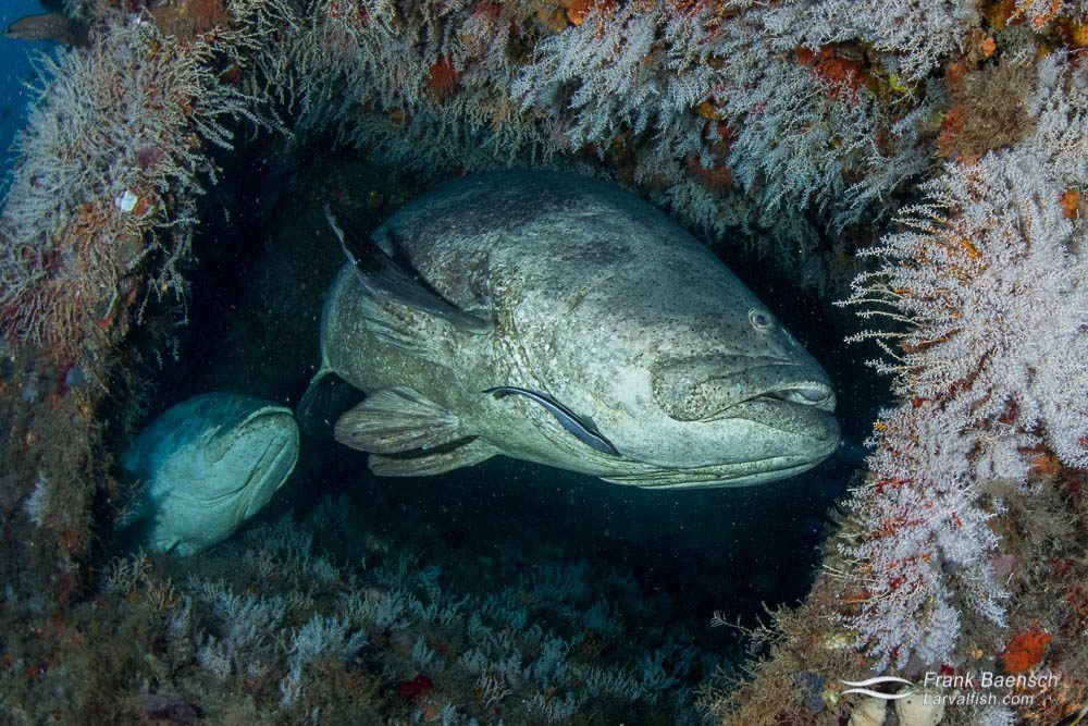 Goliath groupers (Epinephelus itajara) in a wreck off Florida.