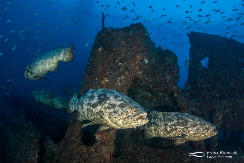 Goliath groupers (Epinephelus itajara) on a wreck off Florida. The goliath grouper forms multiple small (<100 individuals) spawning aggregations sometimes  located  hundreds of kilometers away from their home habitat.