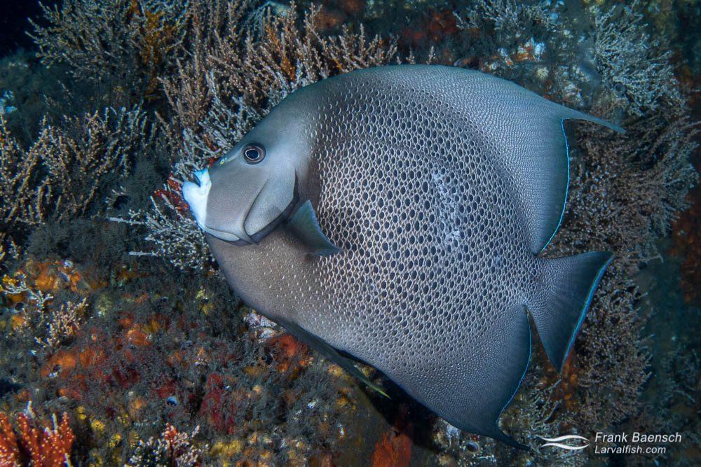 Gray angelfish (Pomacanthus arcuatus). Florida.