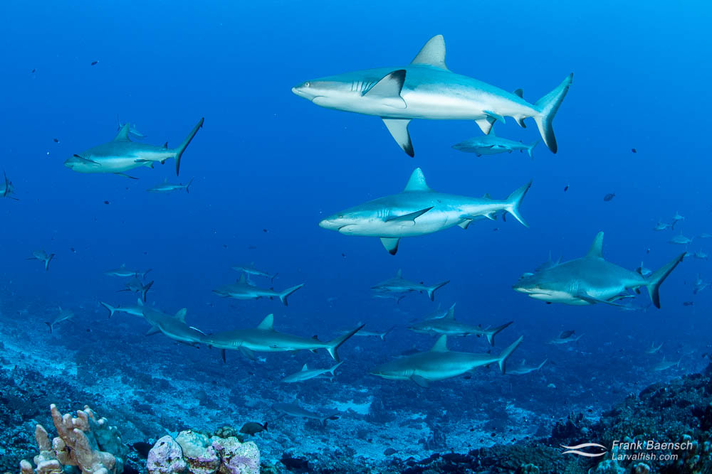 Gray reef sharks (Carcharhinus amblyrhynchos) congegrate in Fakarava South Pass (Tetamanu Pass), French Polynesia. During the day the sharks swim slowly against the tidal current in the channel. They hunt at night when the reef fish are resting and are easier to catch.