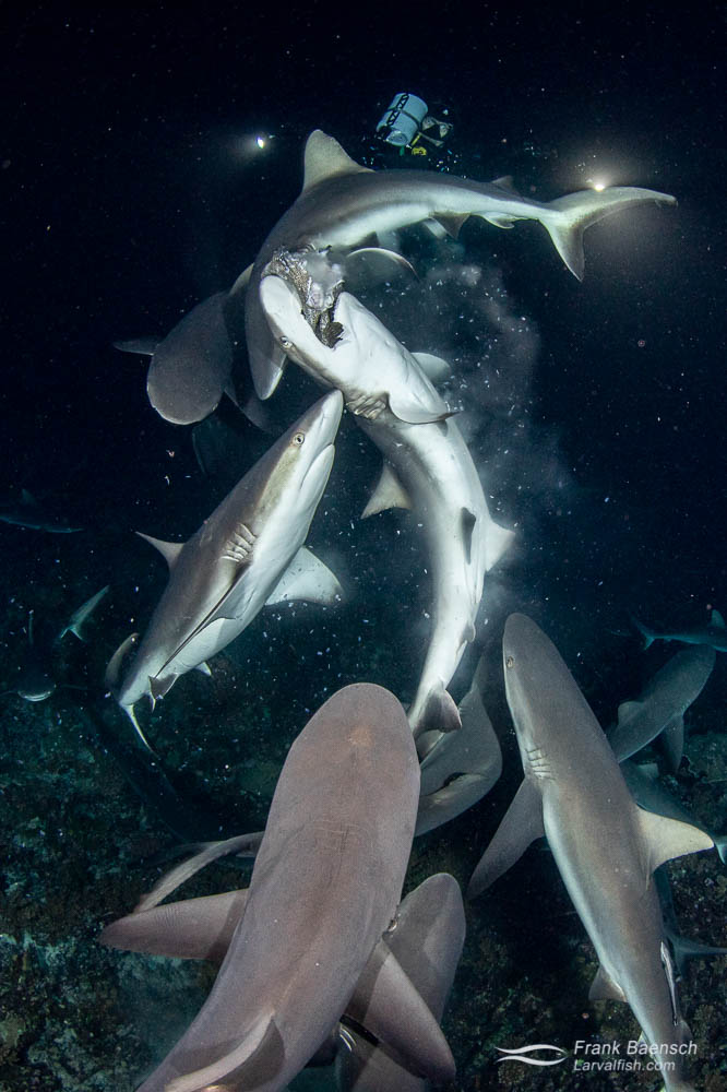 Gray reef sharks (Carcharhinus amblyrhynchos) fight to feed on a camouflage grouper at night in Fakarava South Pass (Tetamanu Pass), French Polynesia.