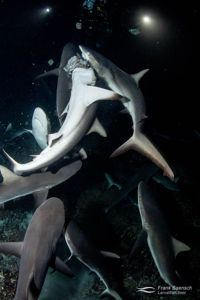 Gray reef sharks (Carcharhinus amblyrhynchos) fighting to feed on a camouflage grouper at night in Fakarava South Pass (Tetamanu Pass), French Polynesia.French Polynesia.