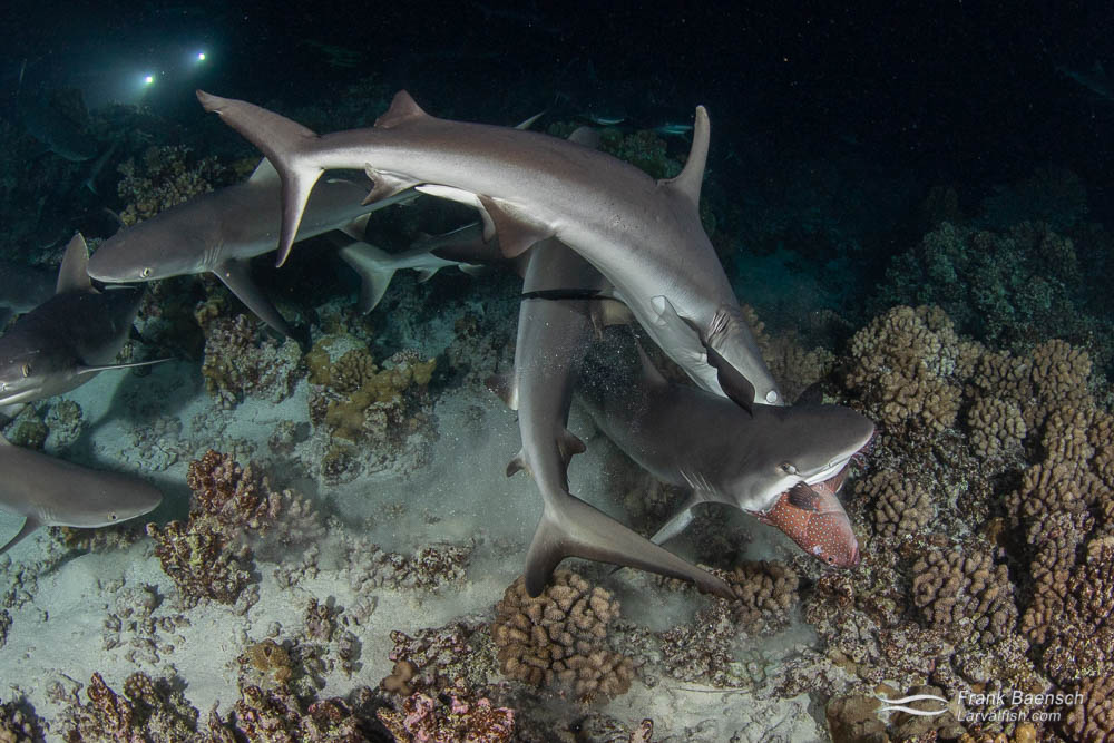 Gray reef sharks (Carcharhinus amblyrhynchos) feed on a grouper at night in Fakarava South Pass (Tetamanu Pass), French Polynesia.