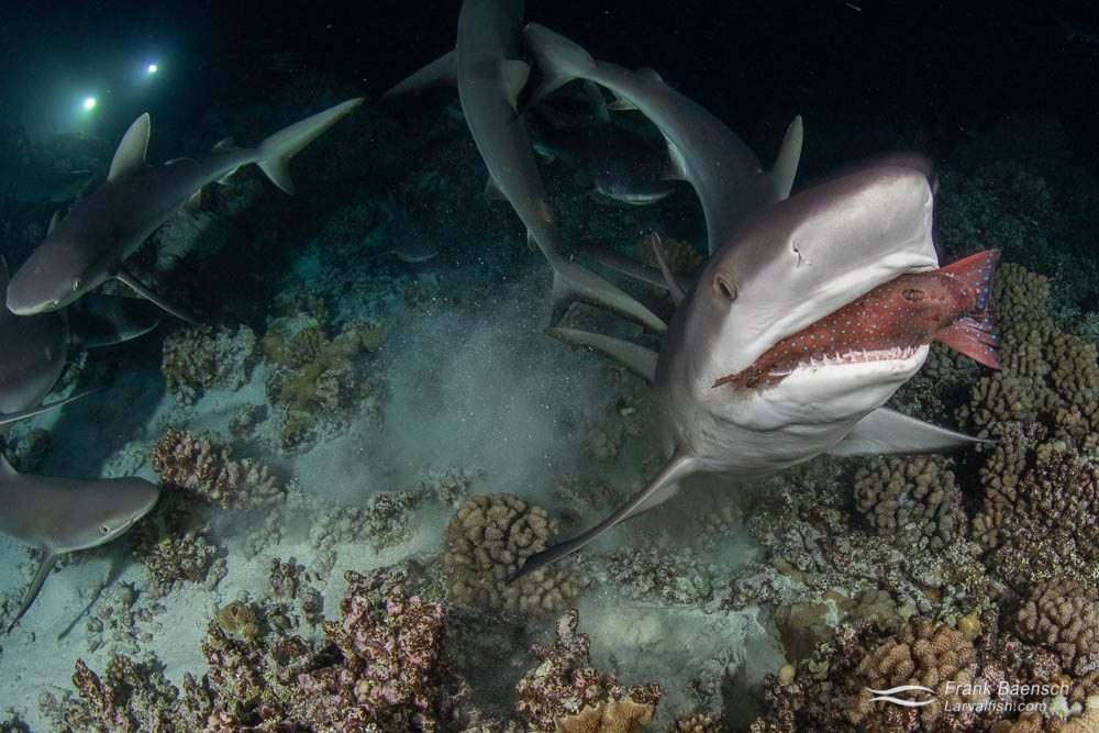 Gray reef sharks (Carcharhinus amblyrhynchos) feeding on a grouper at night in Fakarava South Pass (Tetamanu Pass), French Polynesia.