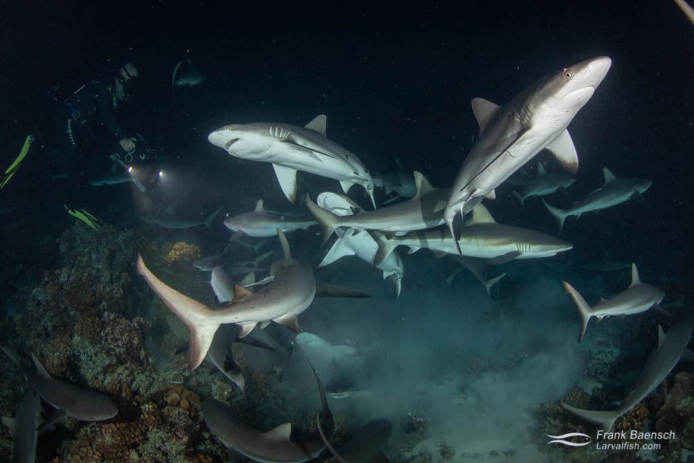 Gray reef sharks (Carcharhinus amblyrhynchos) feed on a grouper at night in Fakarava South Pass (Tetamanu Pass), French Polynesia.