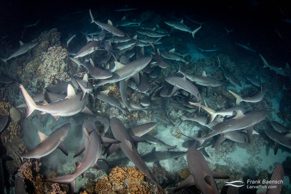Massive congregation of hunting gray reef sharks at night in Fakarava South Pass (Tetamanu Pass), French Polynesia.