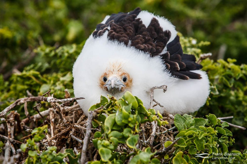 Great Frigatebird (Fregata minor) chick. Galapagos Islands.