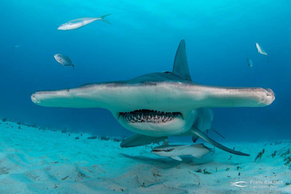 Head on shot of great hammerhead shark (Sphyrna mokarran) in the Bahamas.
