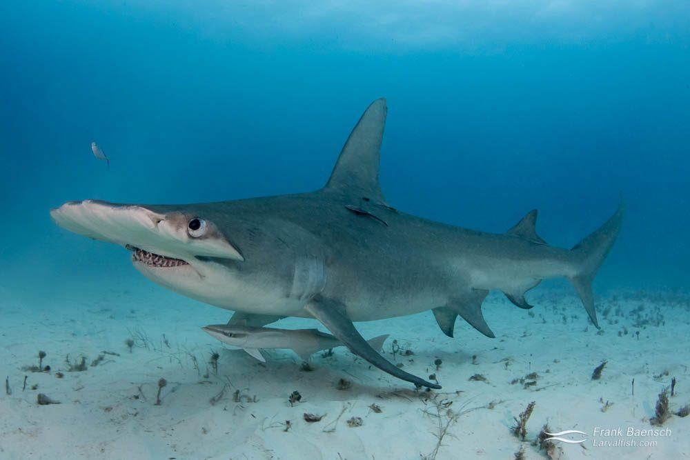 Great hammerhead shark (Sphyrna mokarran) on sand in the Bahamas.