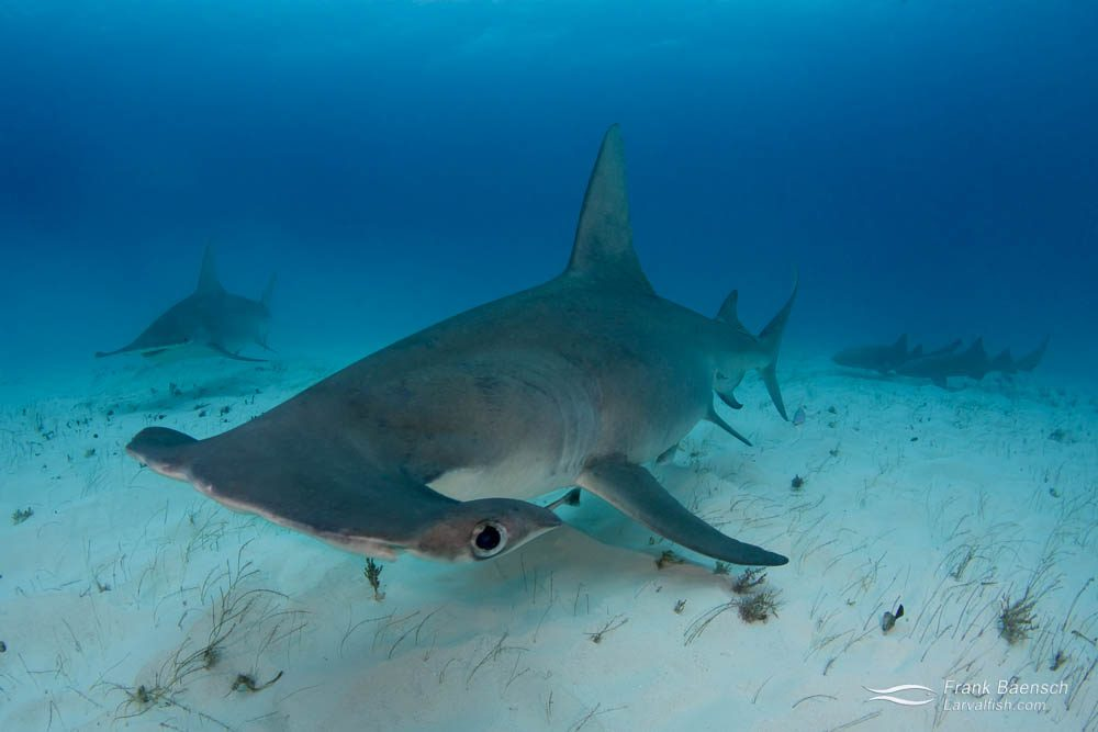 Two great hammerhead sharks (Sphyrna mokarran) in the Bahamas with nurse sharks in the background.
