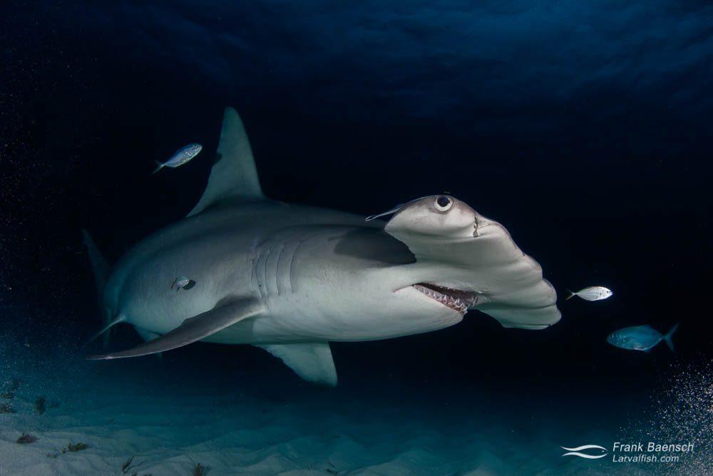 Great hammerhead shark (Sphyrna mokarran) at dusk in the Bahamas.
