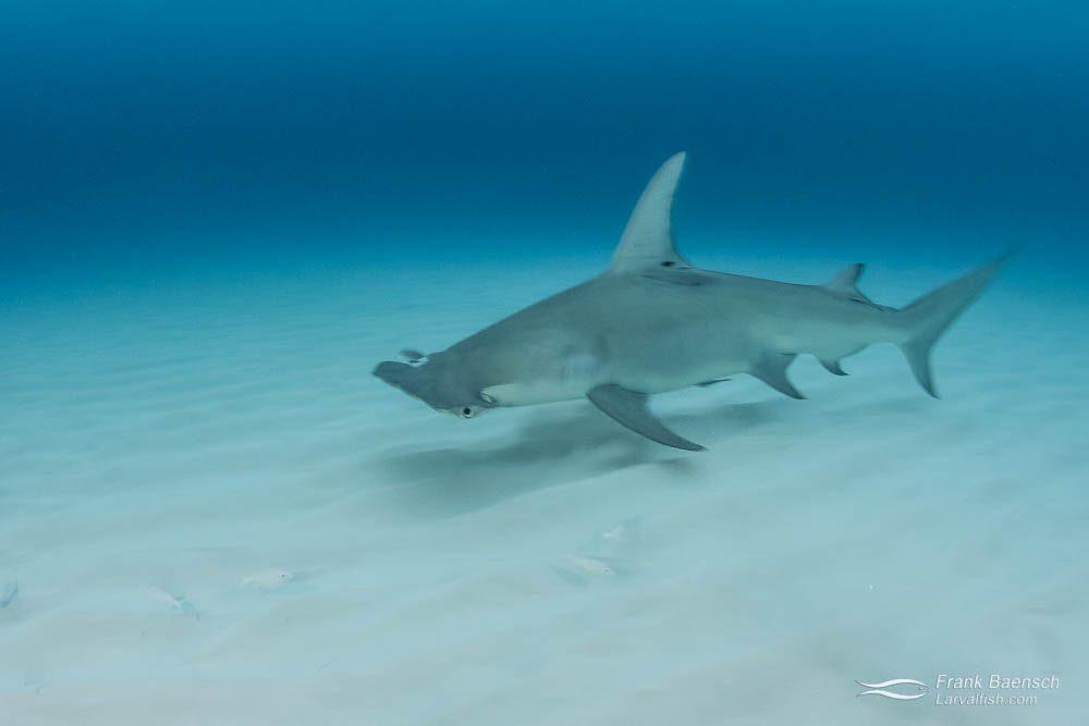 Great hammerhead shark (Sphyrna mokarran)  in the Bahamas.