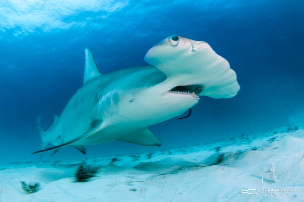Motion blur of great hammerhead shark (Sphyrna mokarran) over sand in the Bahamas.