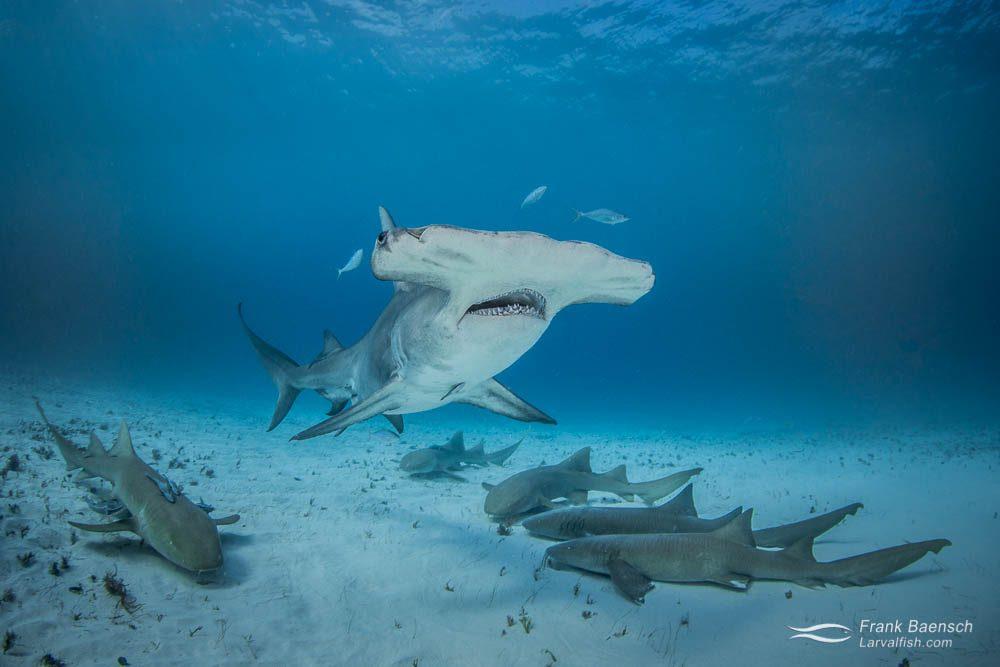 Great hammerhead shark (Sphyrna mokarran) and nurse sharks (Ginglymostoma cirratum)  in the Bahamas.