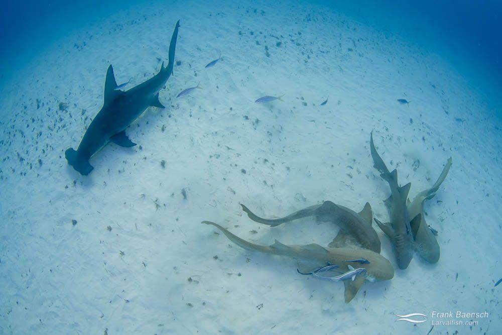 Great hammerhead shark (Sphyrna mokarran) hunting for leftover bait next to four nurse sharks (Ginglymostoma cirratum) in the Bahamas.