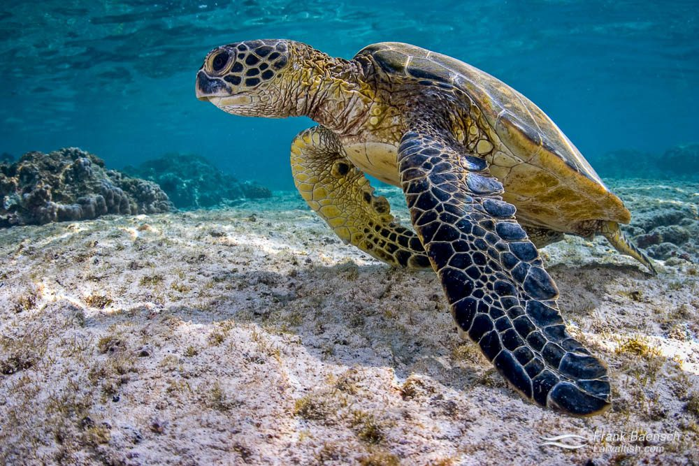 Green sea turtle (Chelonia mydas) perks up on shallow, rocky bottom