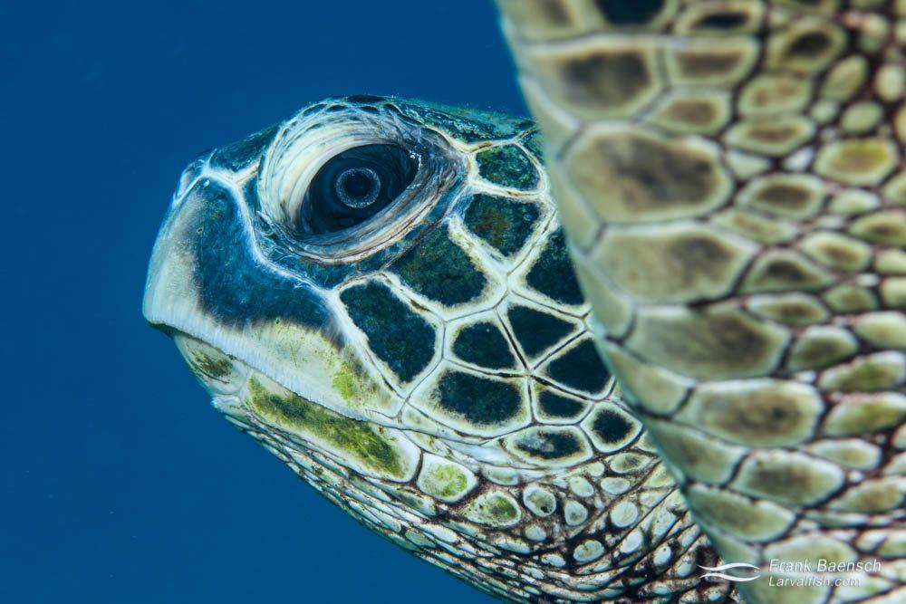 Head shot of green sea turtle.