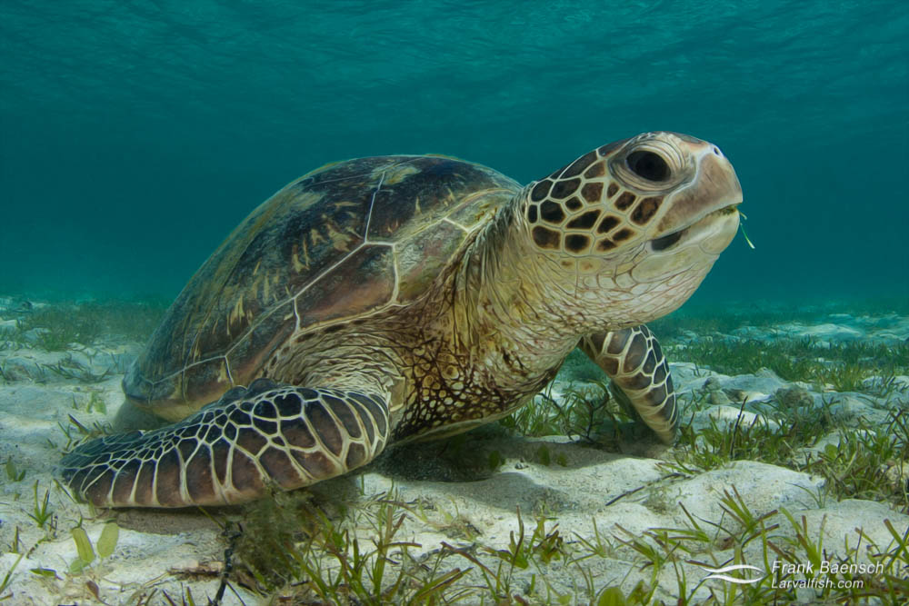 A green turtle (Chelonia mydas) feeds on turtle grass