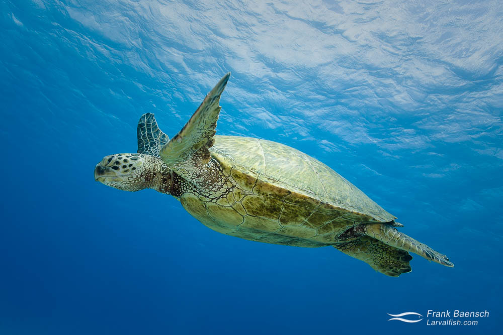 A green turtle swims by in the blue water.