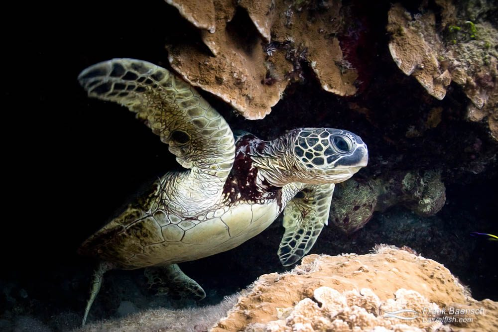 Green sea turtle swims out of a cave. Hawaii.