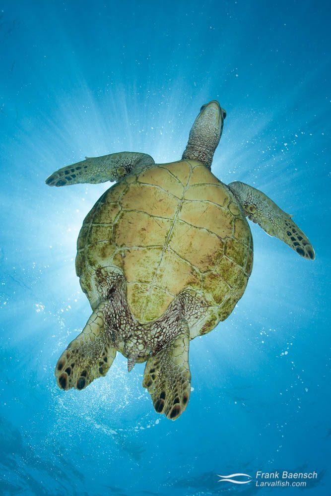 A green sea turtle (Chelonia mydas) looks down while blocking the sun. Hawaii.