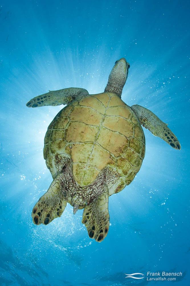 A green sea turtle looks down while blocking the sun. Hawaii.