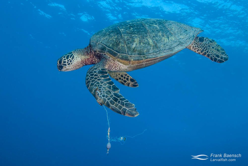 This green sea turtle has a fish hook and leader embeded in its flipper. Hawaii.