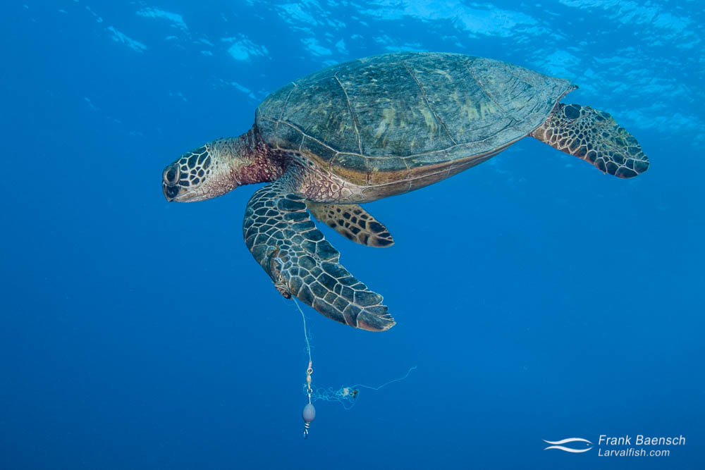 A green sea turtle with a fish hook and leader embeded in its flipper.