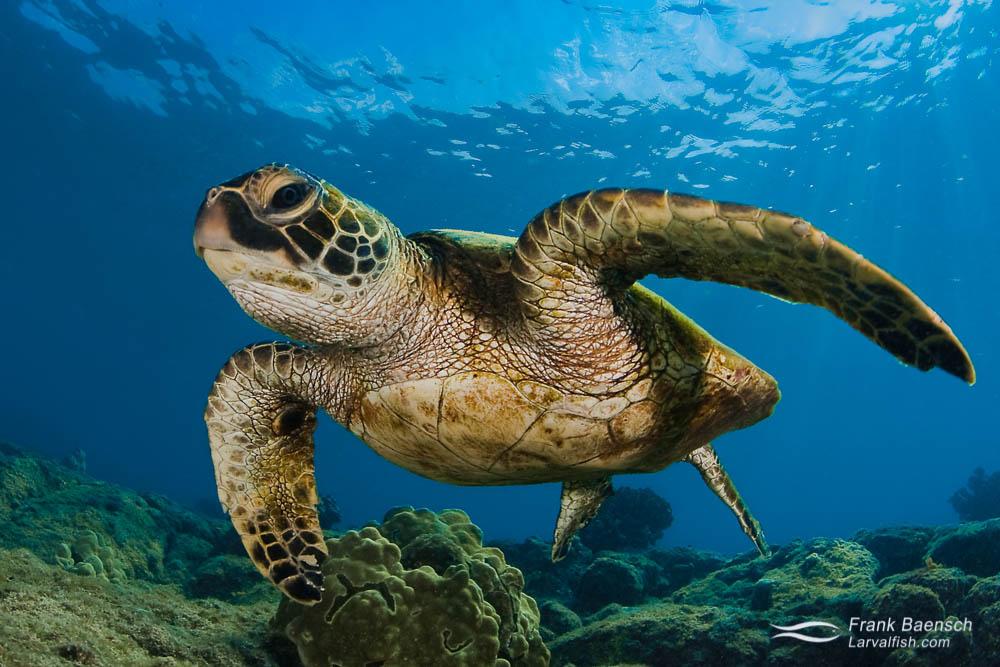Green sea turtle close up