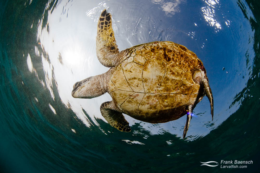 Green sea turtle near the ocean surface  from below
