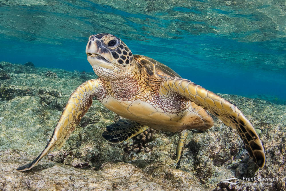 A green sea turtle  on a shallow reef.