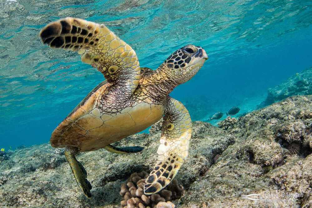 A green sea turtle with flippers extended on a shallow reef.