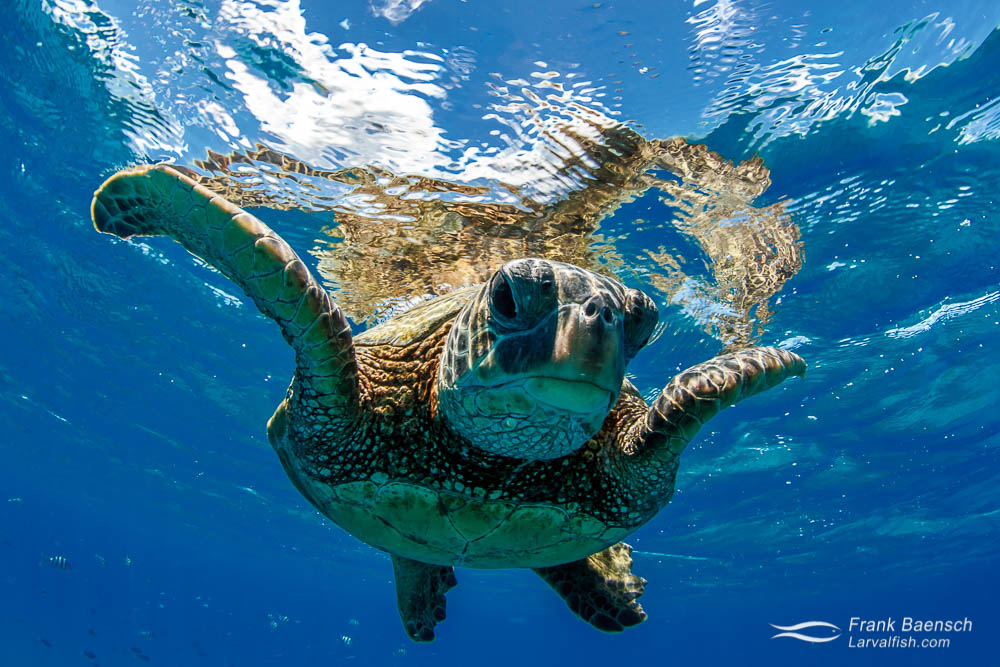 Close up  of a green sea turtle on the ocean surface
