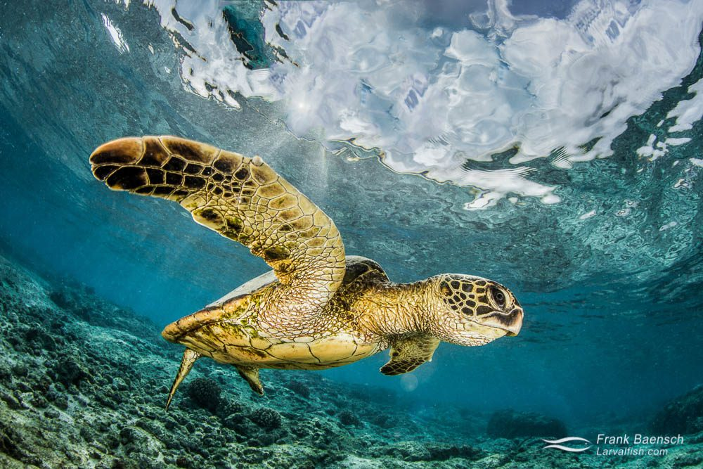 Green sea turtle displaying its powerful flipper.