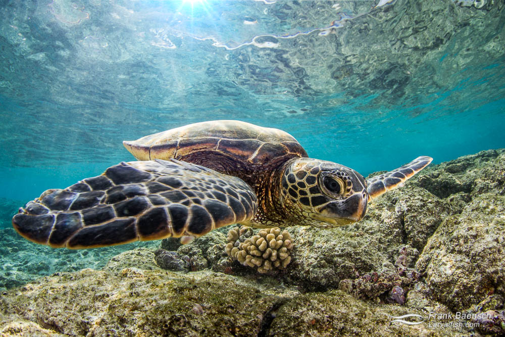 Close up of green sea turtle under sunrays in shallow water