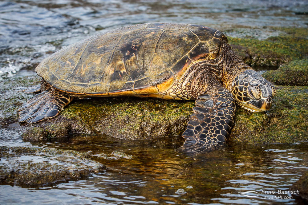 Green sea turtle  resting on the shore in Hawaii