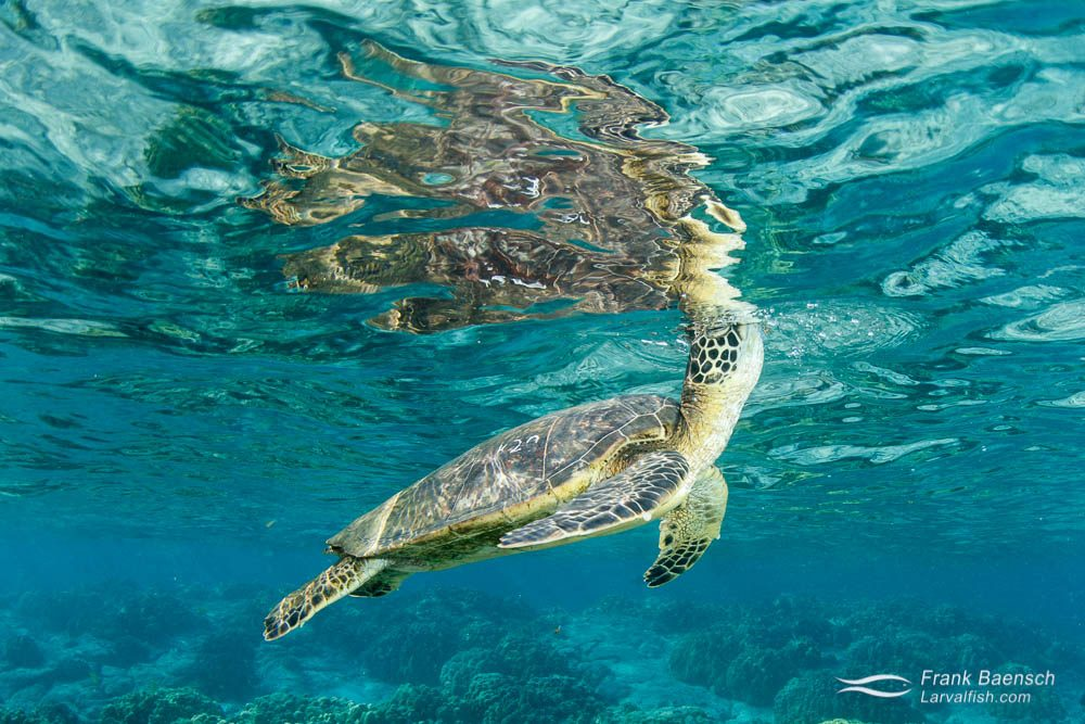Green sea turtle creates a nice reflection while taking a breath at the surface.