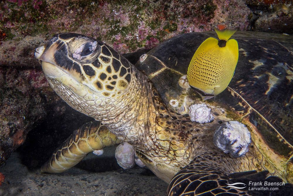 Butterflyfish picks on fibropapilloma tumor infecting green sea turtle. Hawaii.