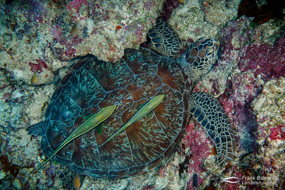 Two remoras attached to the carapace of a green sea turtle (Chelonia mydas) in Palau.