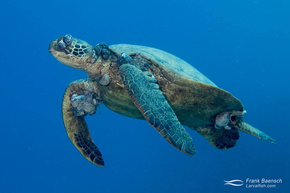 Green sea turtle almost blinded by  fibropapillomatosis swims by in blue water.