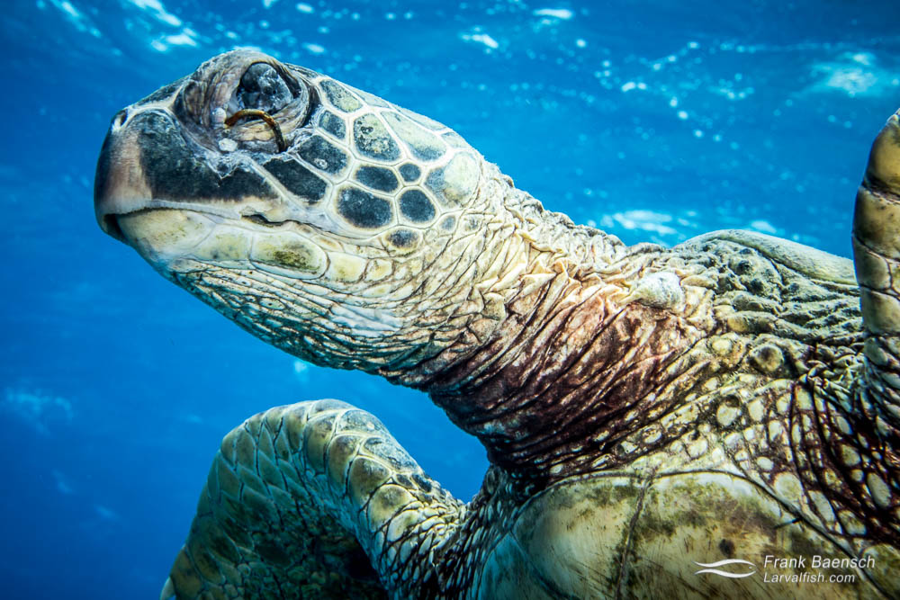 Close up of green sea turtle with a fish hook embeded in its eye.