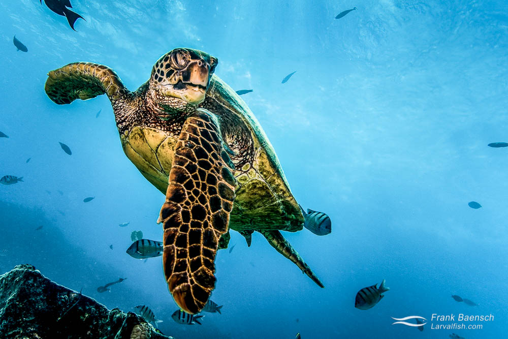Green sea turtle swims up close with flipper extended