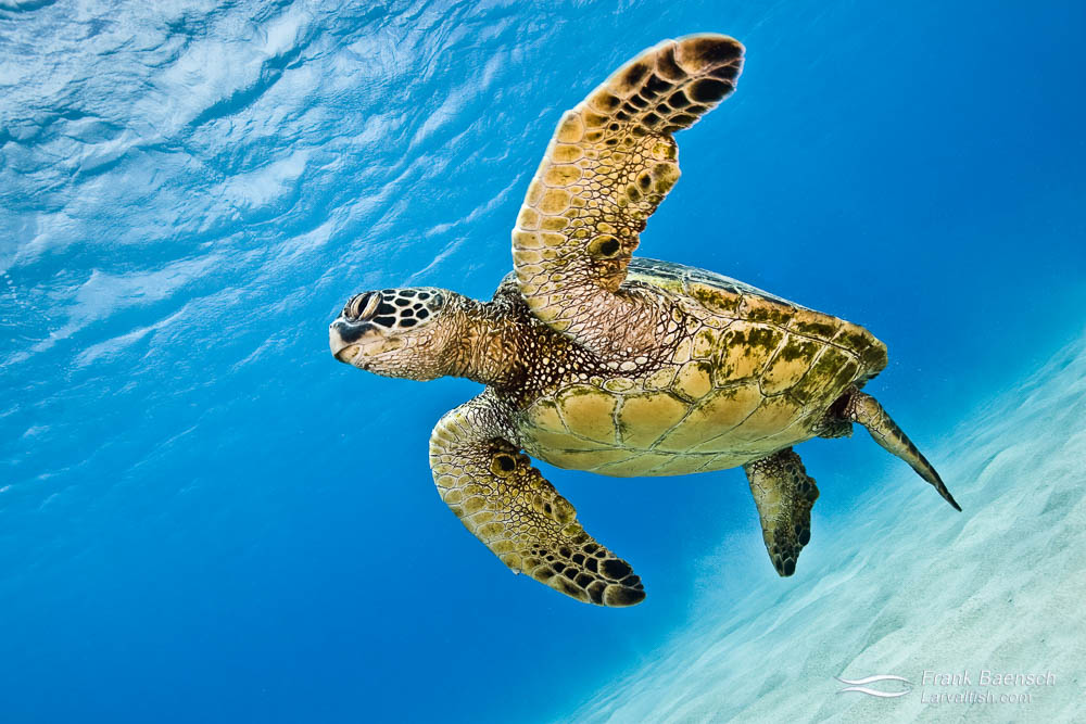 A green turtle swims above sand while dispalying its paddle-like flippers.
