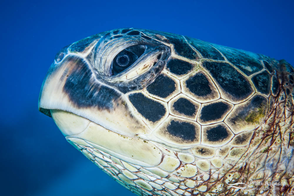 Head shot of a green sea turtle