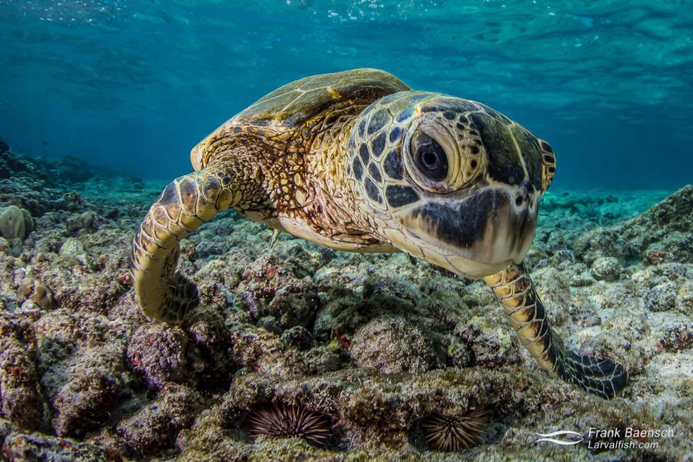Head on shot of  green sea turtle