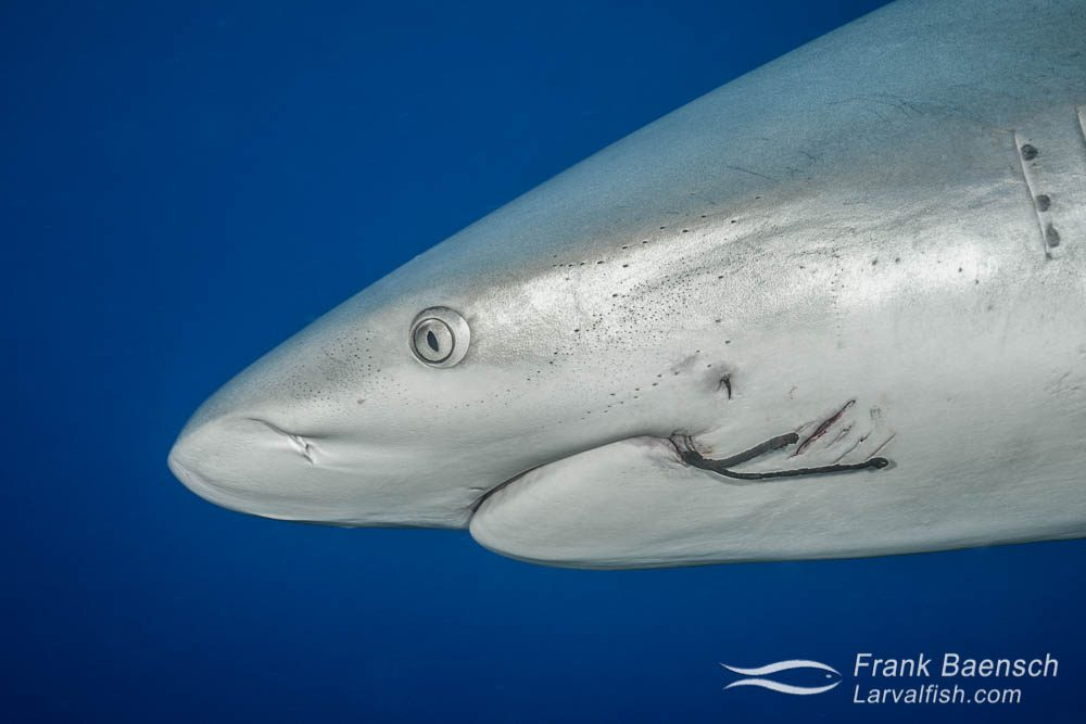 Head shot of a grey reef shark (Carcharhinus amblyrhynchos) with scarring and two rusty fish hooks in its mouth. Bahamas.